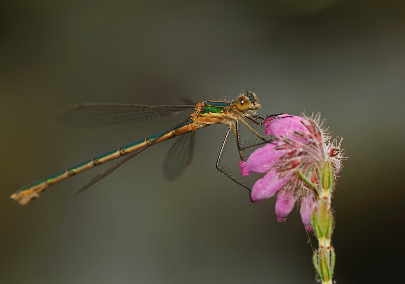 Emerald Damselfly - Teneral Female