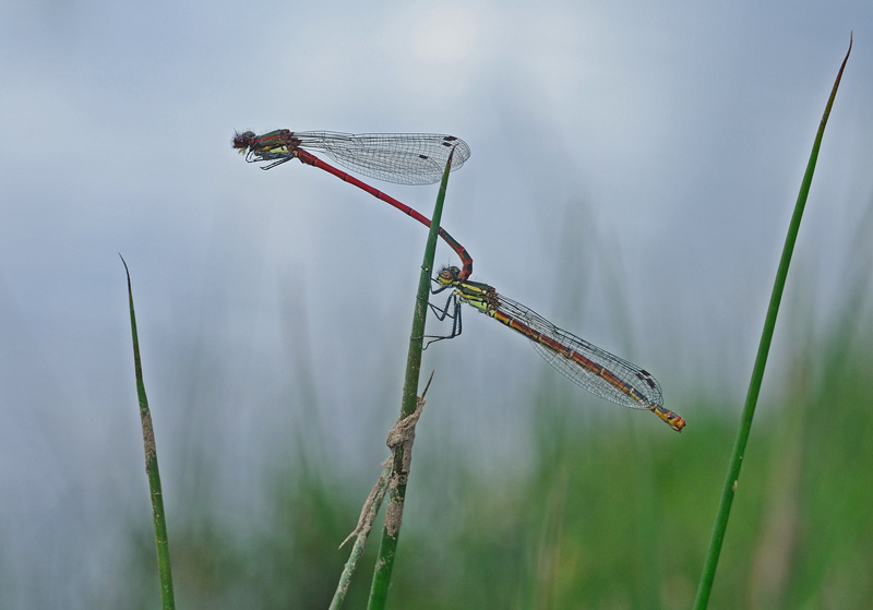 Large Red Damselflies - Pair in Tandem
