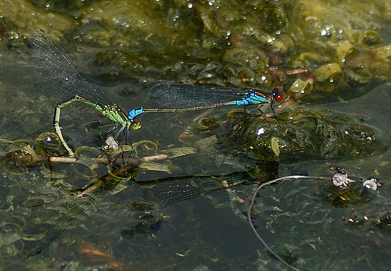 Small Red-eyed Damselflies - Pair in Tandem