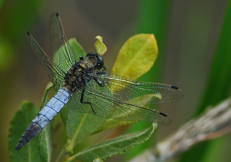 Black-tailed Skimmer - Male