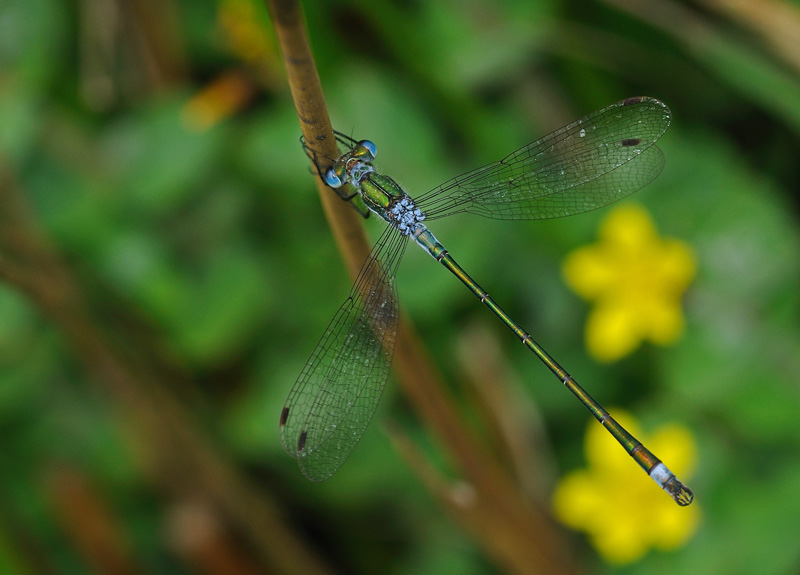 Emerald Damselfly - Male