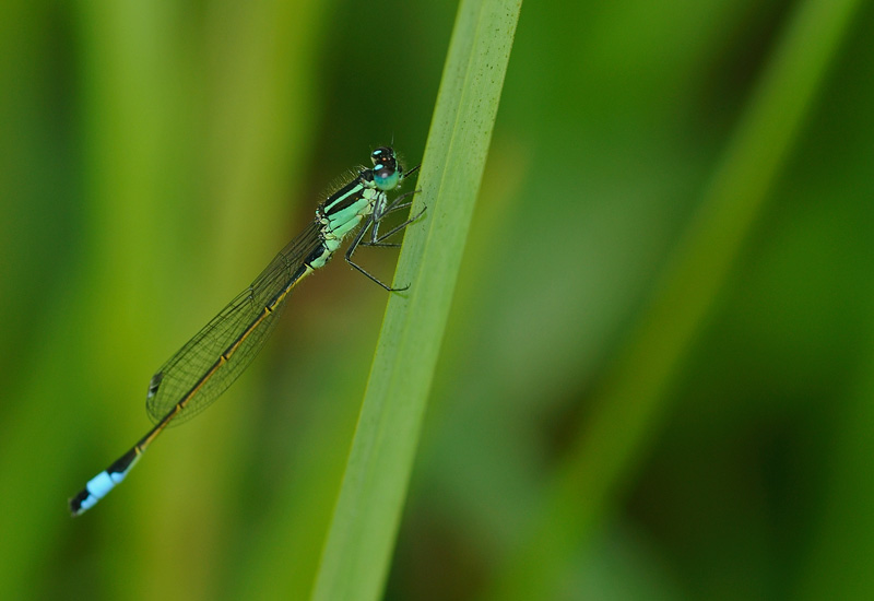 Blue-tailed Damselfly - Male