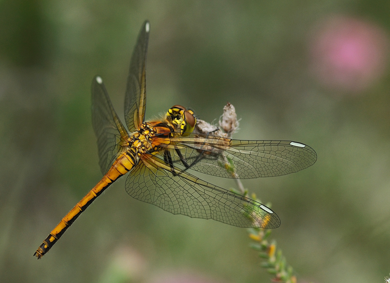 Black Darters - Female