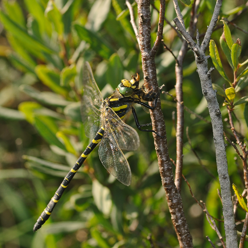 Golden-ringed Dragonfly - Male Feeding
