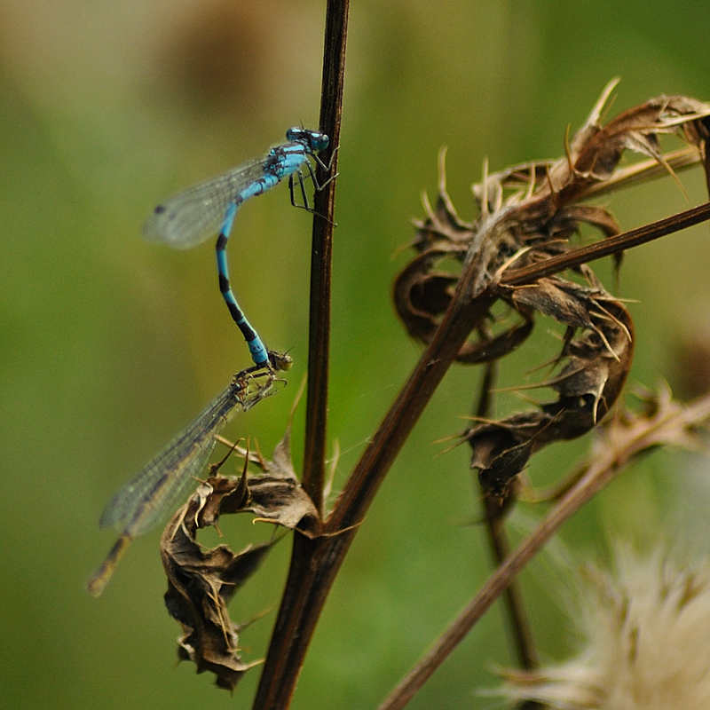 Common Blue Damselflies - Pair in Tandem