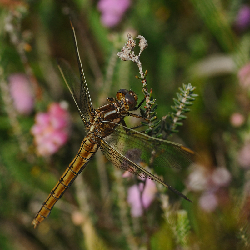 Keeled Skimmer - Female