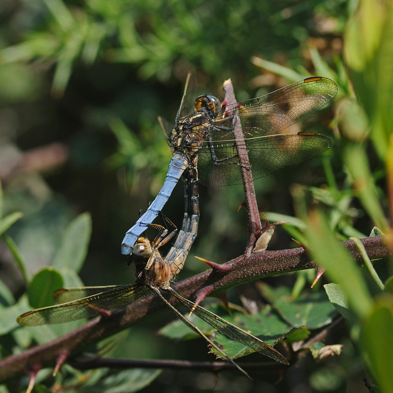 Keeled Skimmers - Mating Pair