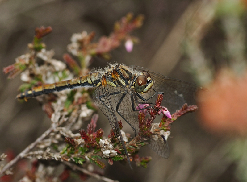 Black Darter - Immature Male