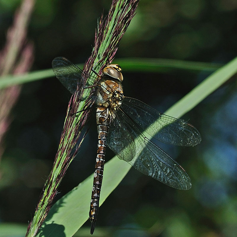 Migrant Hawker - Female