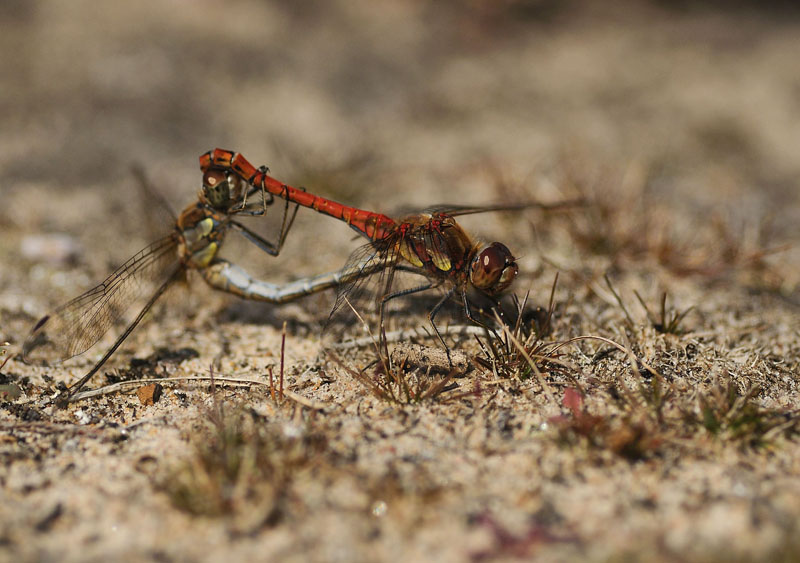 Common Darters - Mating Pair
