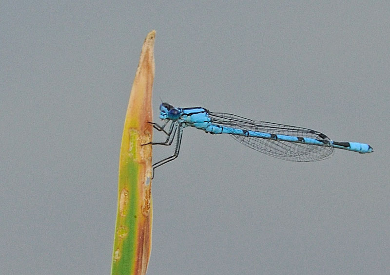 Common Blue Damselfly - Male