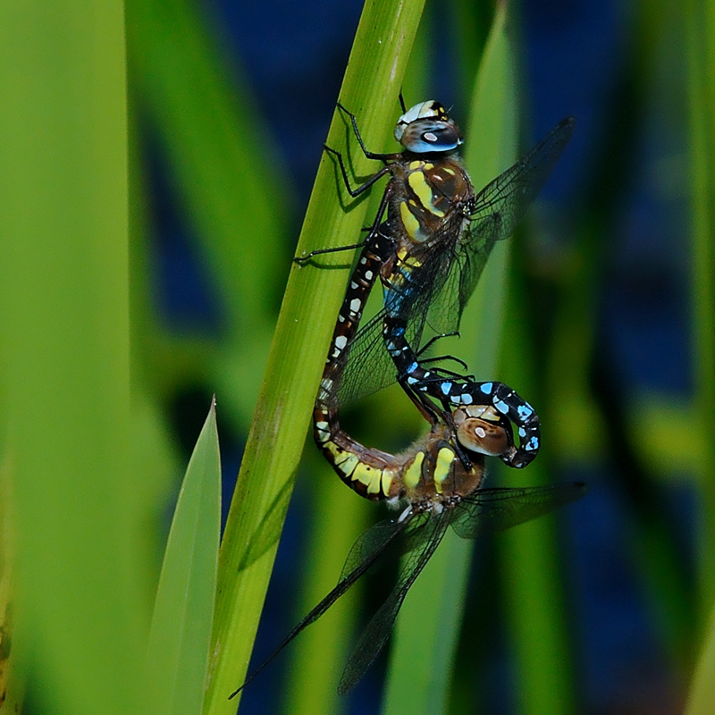Migrant Hawkers - Mating Pair
