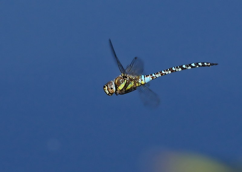 Migrant Hawker - Male