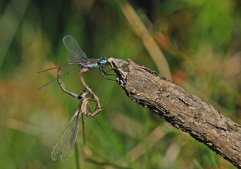 Emerald Damselflies - Mating Pair