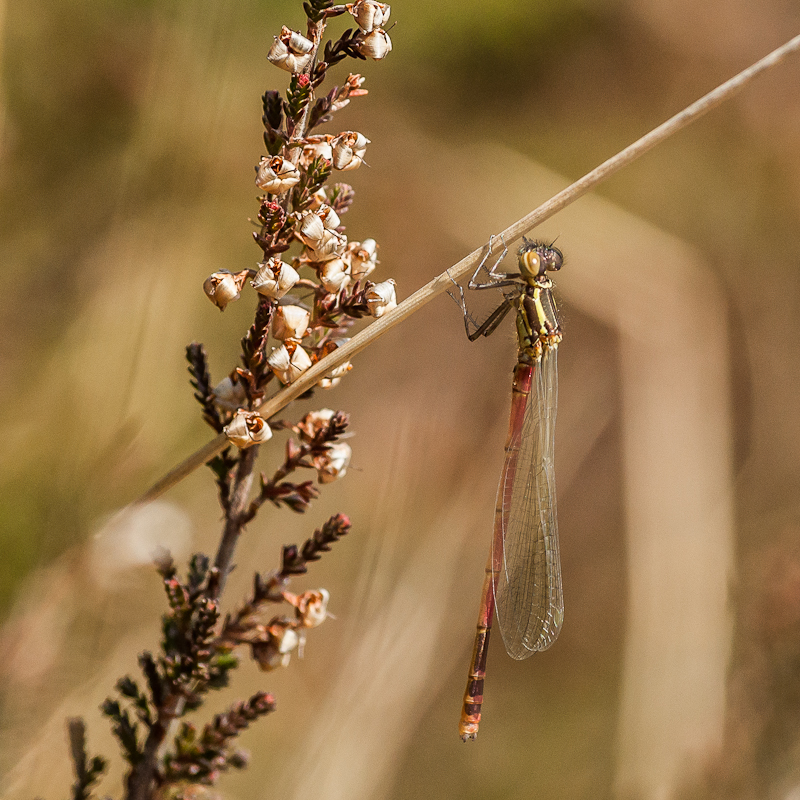 Large Red Damselfly - Teneral