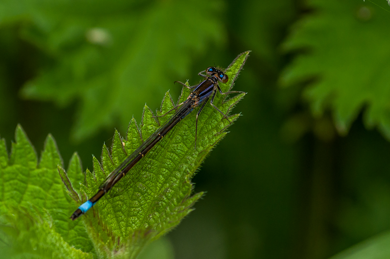 Blue-tailed Damselfly - Female : form violacea