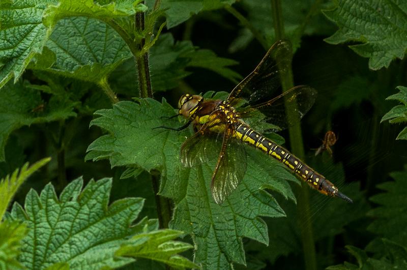 Hairy Dragonfly - female