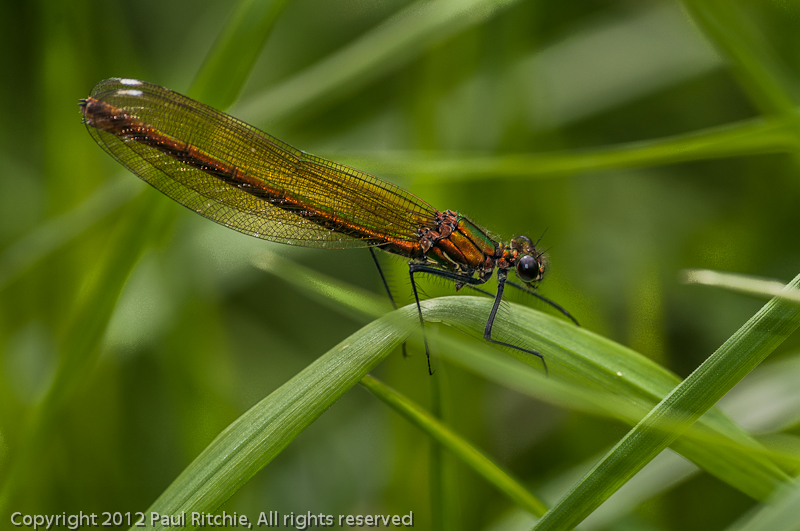 Banded Demoiselle - female