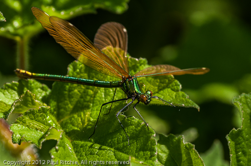 Beautiful Demoiselle - female