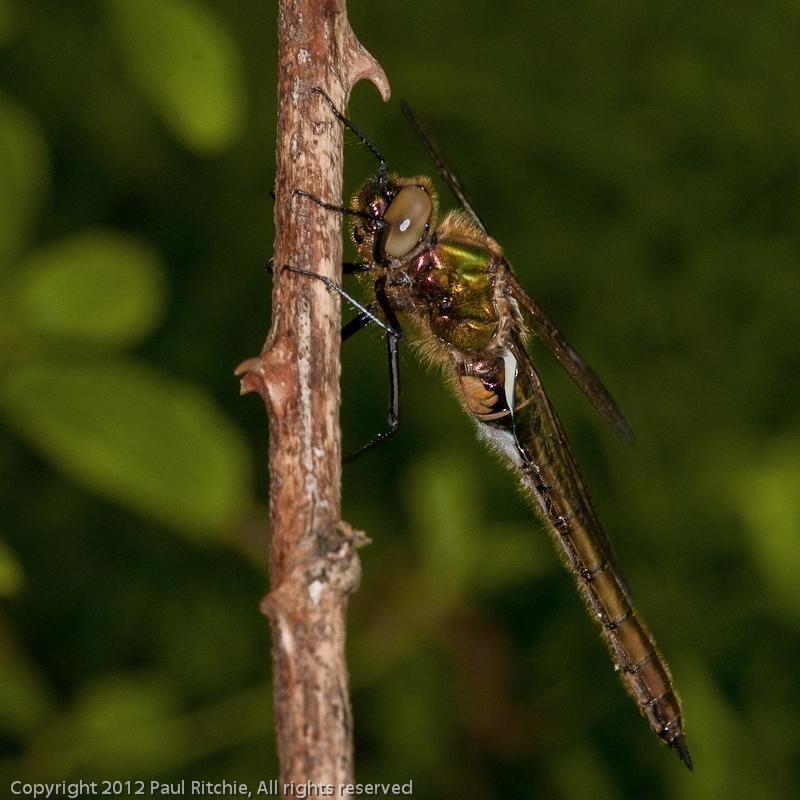 Downy Emerald - immature female