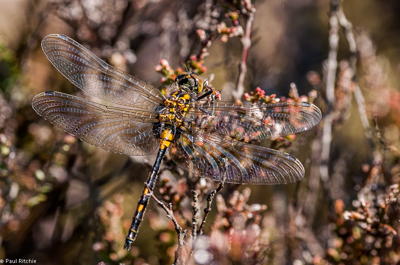 White-faced Darter - female