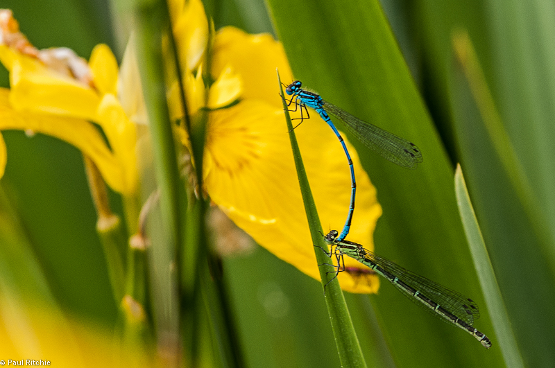 Azure Damselflies - pair in tandem