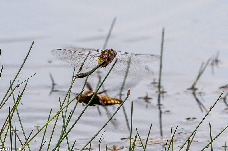 Downy Emerald (female( and Broad-bodied Chaser (female)