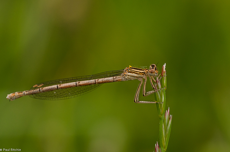 White-legged Damselfly - immature female