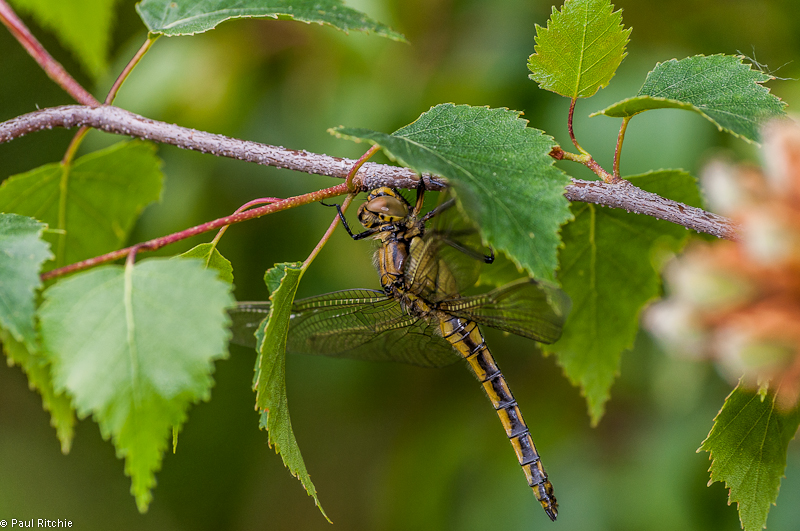 Black-tailed Skimmer - teneral female