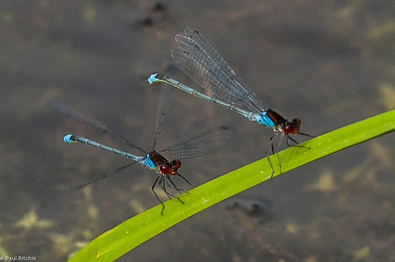 Red-eyed Damselflies - male