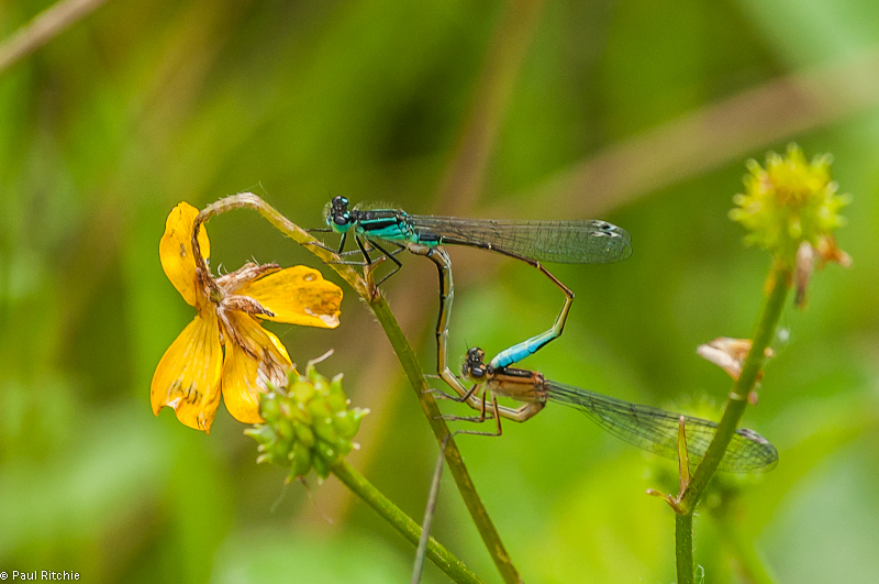 Blue-tailed Damselflies pair in tandem