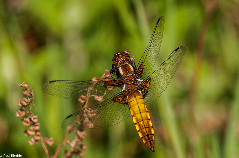 Broad-bodied Chaser - imm male