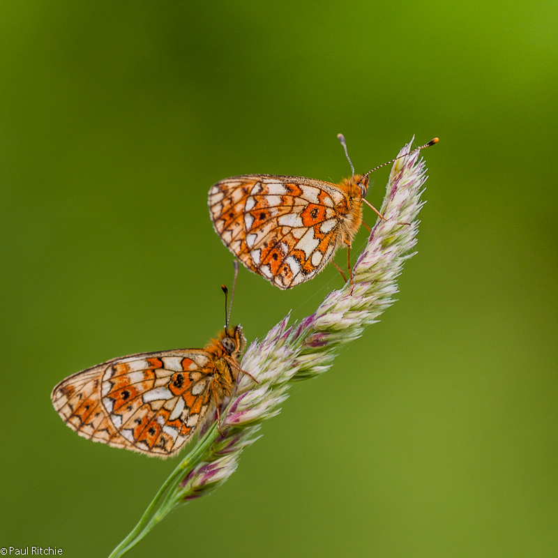Small Pearl-bordered Fritillaries
