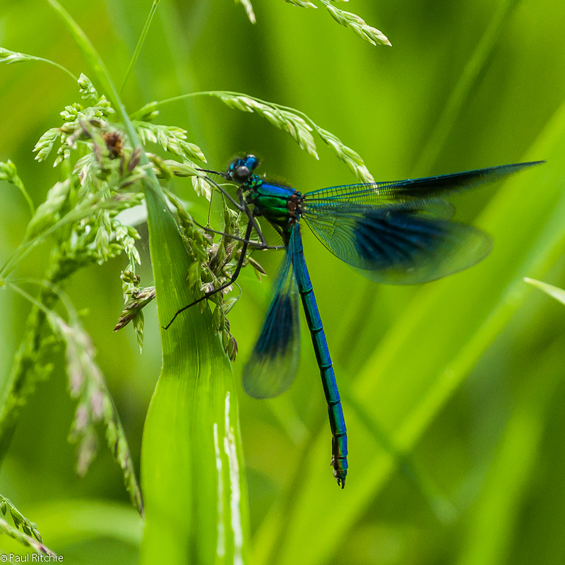Banded Demoiselle - male