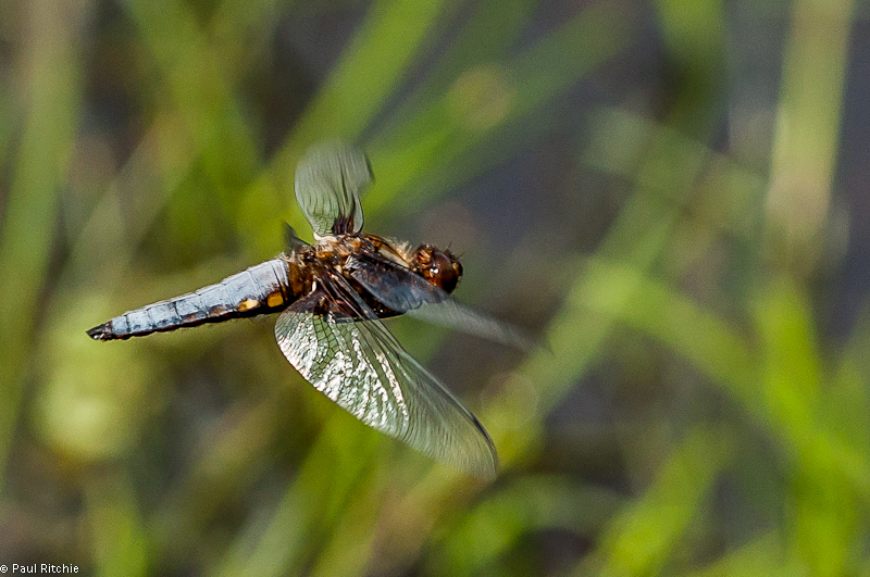 Broad-bodied Chaser - male guarding female