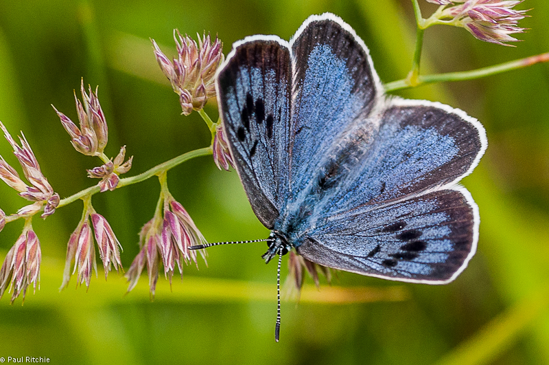 Large Blue Butterfly