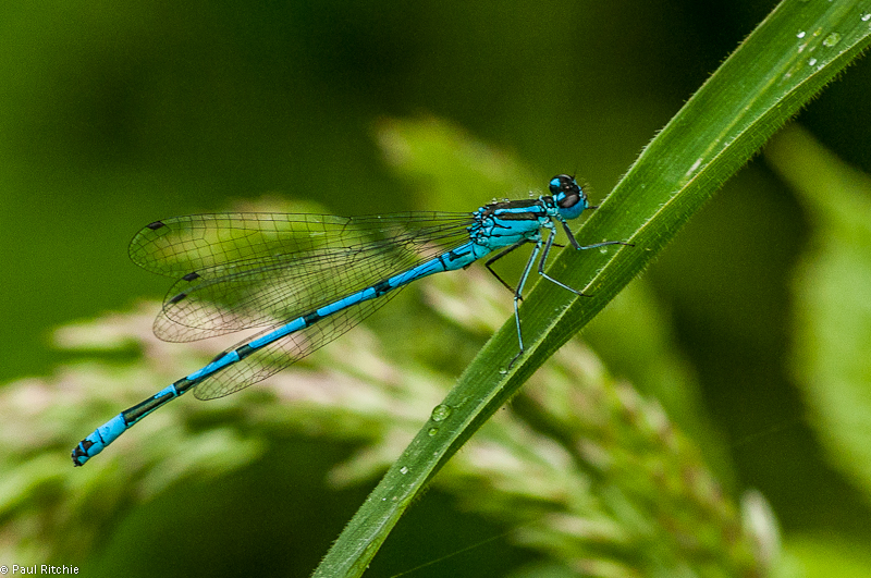 Azure Damselfly - male