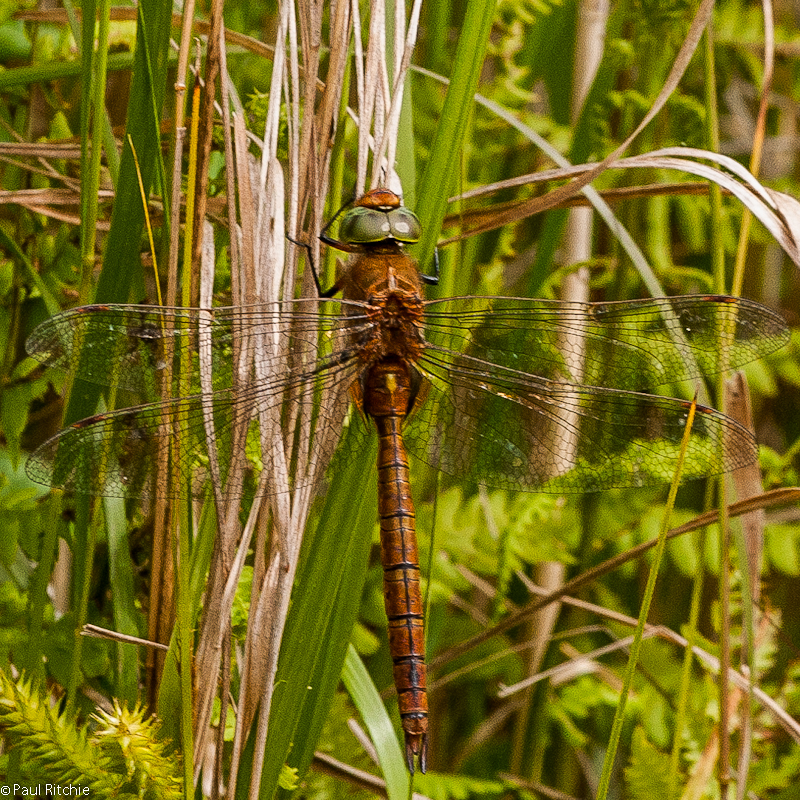 Norfolk Hawker - male