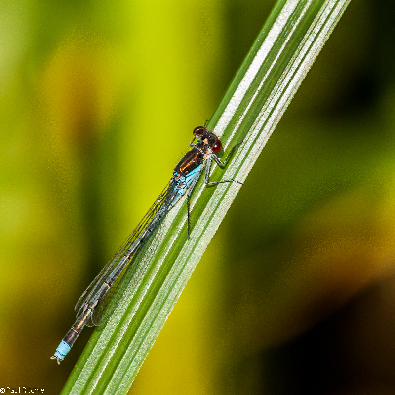 Red-eyed Damselfly - male