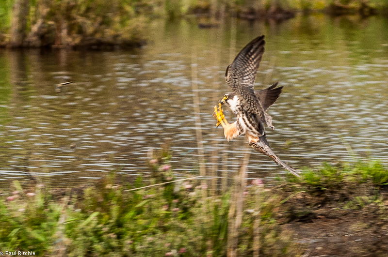 Hobby catches Four-spotted Chaser
