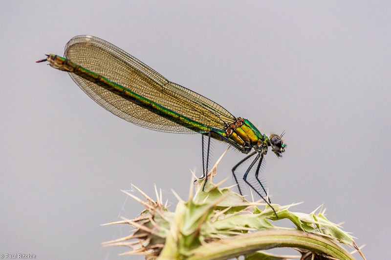 Banded Demoiselle -female