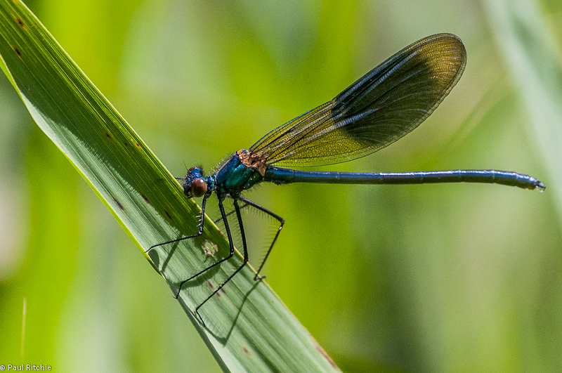 Banded Demoiselle -Male