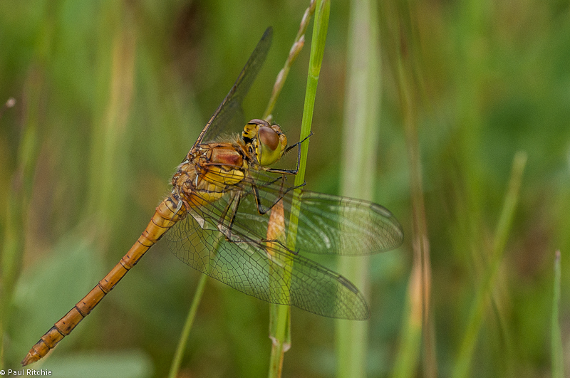 Common Darter - immature