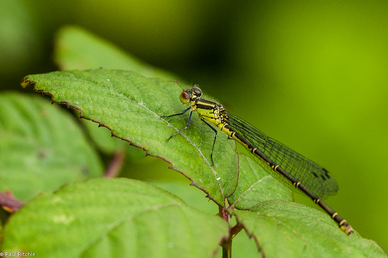 Small Red-eyed Damselfly - teneral female
