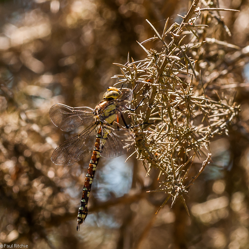 Southern Hawker - immature female