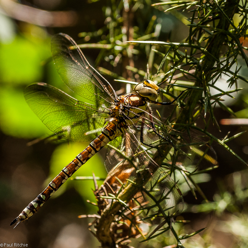 Southern Hawker - female