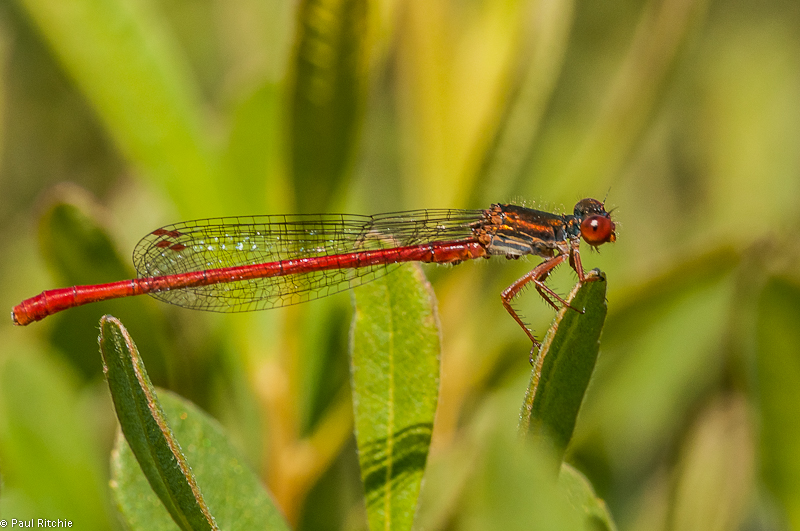 Small Red Damselfy - male
