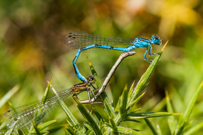 Southern Damselflies - mating pair