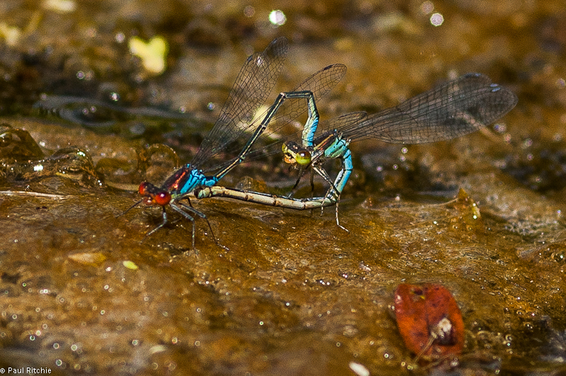 Small Red-eyed Damselflies - mating pair