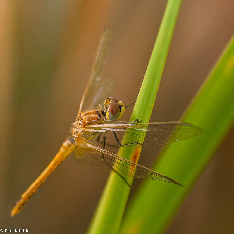 Red-veined Darter - immature female